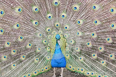 Peacock showing tail