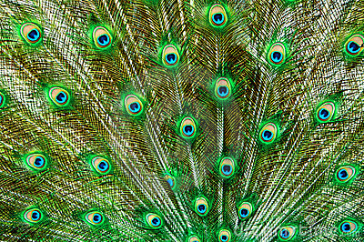 Peacock Tail Feathers In Green And Blue Stock Photo ...