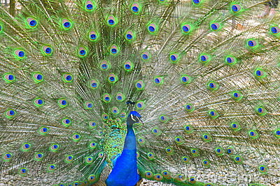 Peacock tail hypnosis