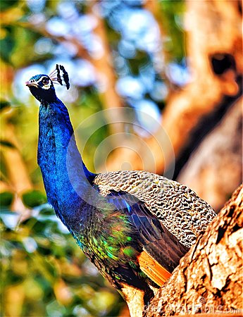 Free Peacock The Royal Bird Royalty Free Stock Images - 103912799