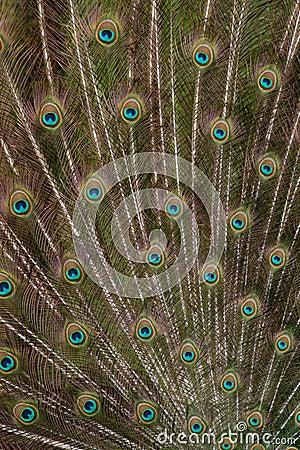 Peacock Train