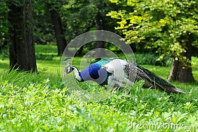 Peacock white species