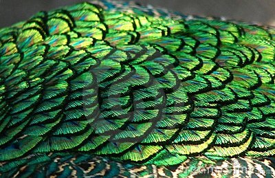 Peacock wing feathers close-up