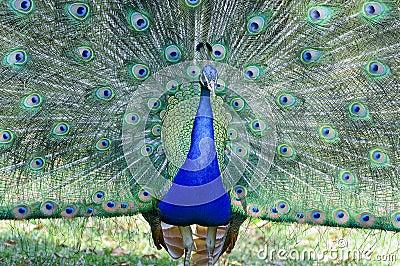 Peacockfornia