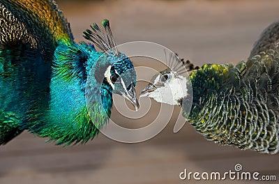 Peacocks in love