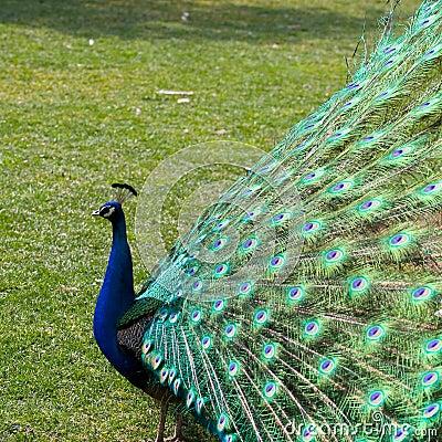 Free Peafowl Royalty Free Stock Photos - 4379808