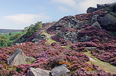 Peak District Heather