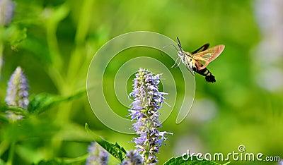 Peak moth