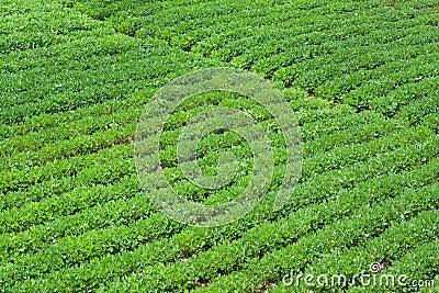 Peanut farm
