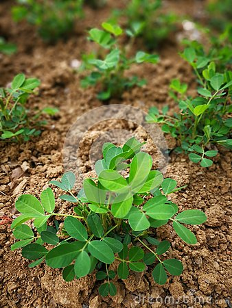 Free Peanut Plant Stock Images - 93822554