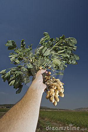 Peanuts in farmer hand