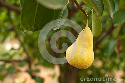 Pear on the branch
