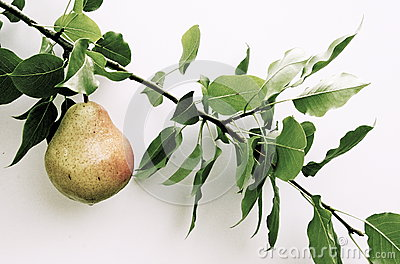 Pear on branch on the white background