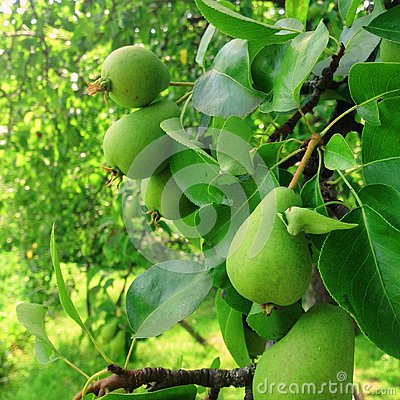 Free Pear Fruit On The Tree Stock Images - 102542314