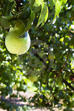 Pear growing on the branch