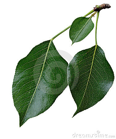 Free Pear Leaf Royalty Free Stock Photos - 6039348
