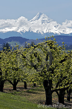 Free Pear Orchard And Mt Hood Royalty Free Stock Images - 2363189