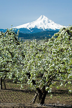 Pear orchards bloomin