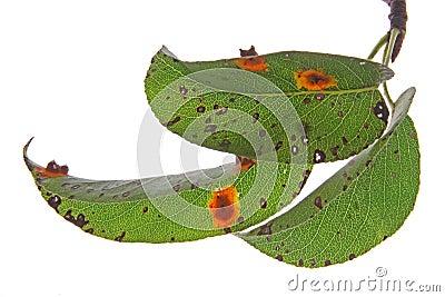 Pear rust (Gymnosporangium fuscum)
