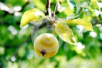 Pear a tree