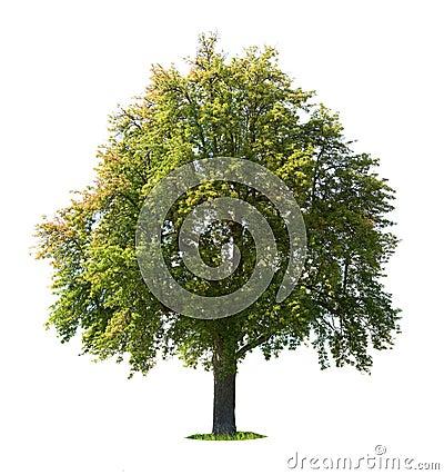 Free Pear Tree Stock Image - 6256061