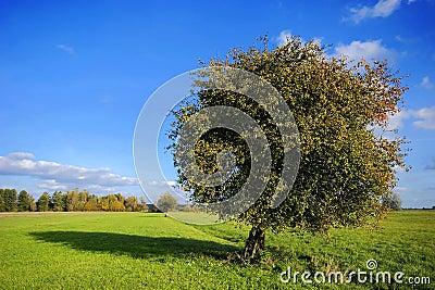 Pear tree on field