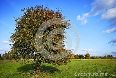 Pear tree on field