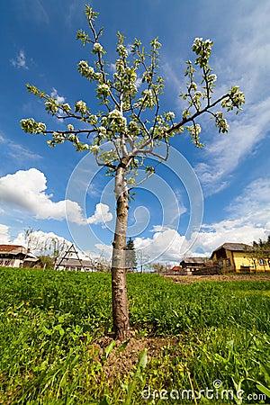Pear tree in a garden
