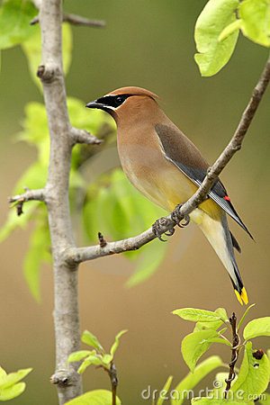 Free Pear Tree Waxwing Royalty Free Stock Images - 4956669