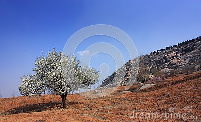 Pear trees have been Flowering