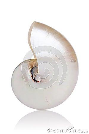 Pearled Nautilus
