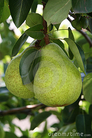 Free Pears Royalty Free Stock Photo - 6134405