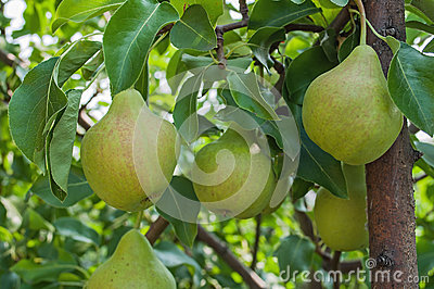 Pears on branch.