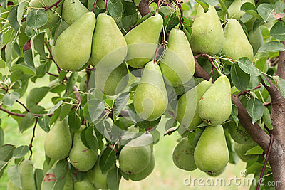 Pears on branch