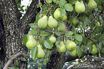 Pears Hanging on a Tree