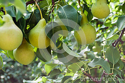 Pears - orchard