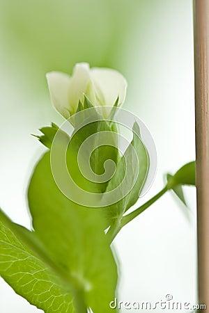 Peas flower