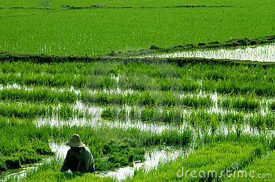Peasant farmer in rice paddies