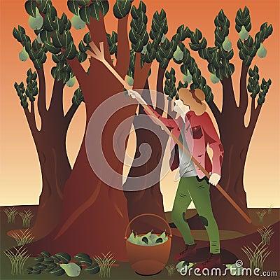 Free Peasant Harvesting Pears Stock Image - 54910711
