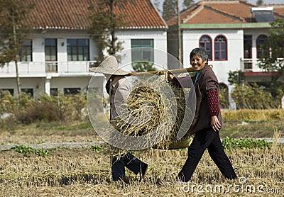 Peasant women harvesting wheat straw Editorial Stock Photo