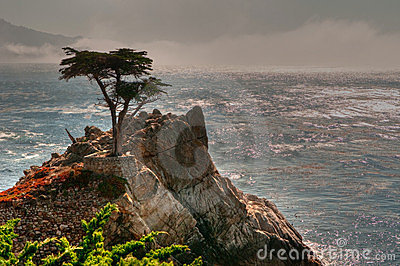 Pebble Beach Lone Tree