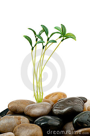 Pebbles and seedlings