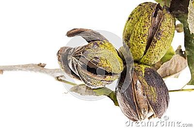 Pecans na gałąź z liść