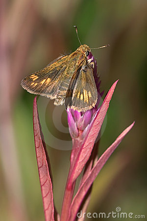 Free Peck S Skipper Royalty Free Stock Images - 9378759