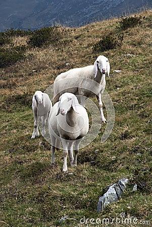 Pecore