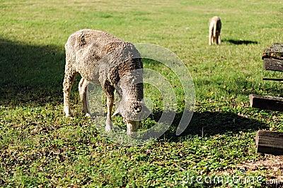 Pecore ed agnello che pascono