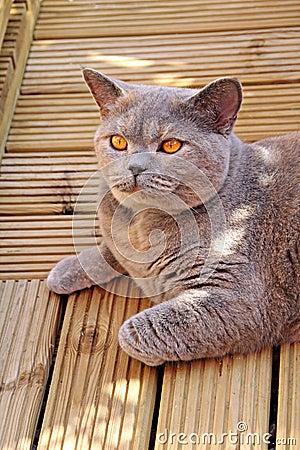 Pedigree cat on decking