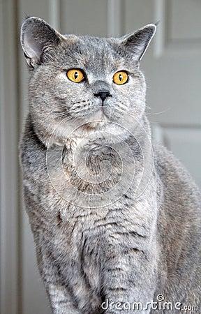 Pedigree cat pose