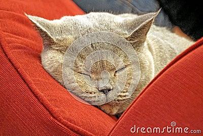 Pedigree cat sleeping