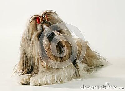 A pedigree dog